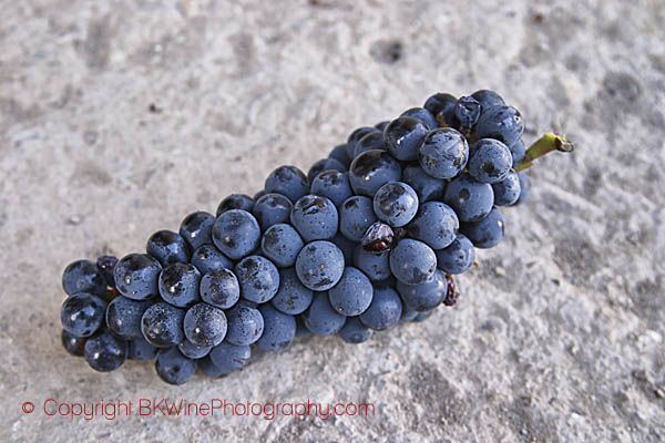 Sangiovese grape bunch in Tuscany