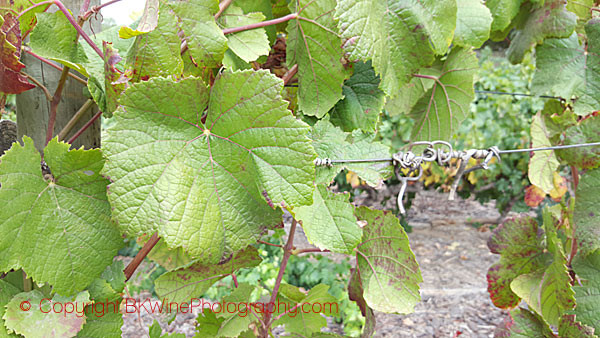 Learn How To Identify A Grape Variety By The Leaf And Grape Bunch Bkwine Magazine