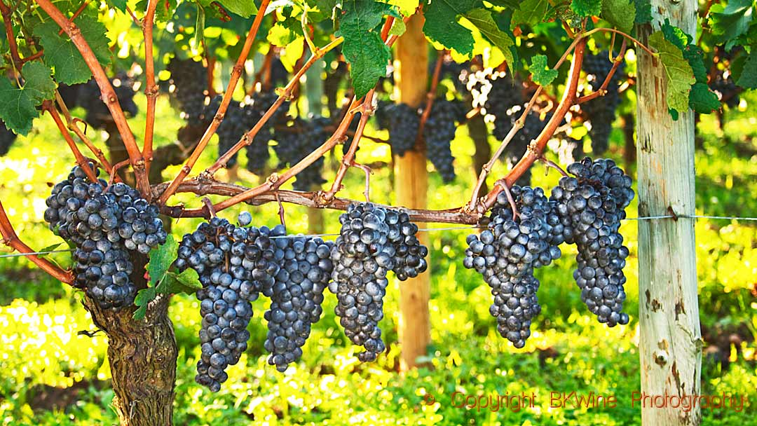 Ripe bunches of merlot in the vineyard of Chateau Petrus, Pomerol, Bordeaux